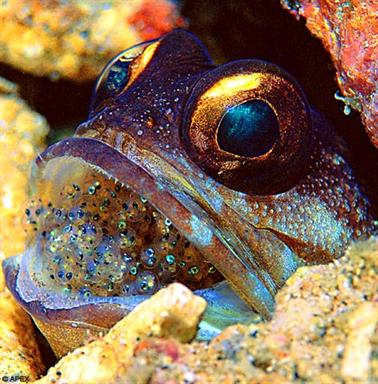 Broody: A gold specs jawfish with its eggs