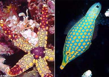 Technicolour battle: A harlequin shrimp and a starfish (left) and a harlequin filefish