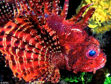 Mane attraction: The dwarf lionfish hides on reefs to ambush prey