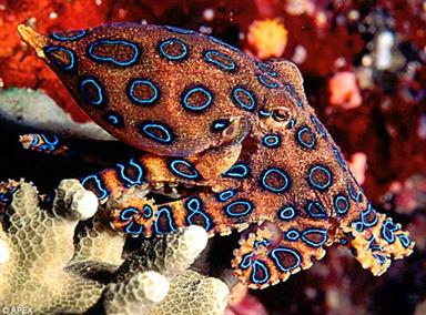 Sucker punch: The venom of the blue-ringed octopus can kill a man