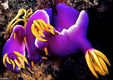 Purple patch: Mating sea slugs lay an egg spiral