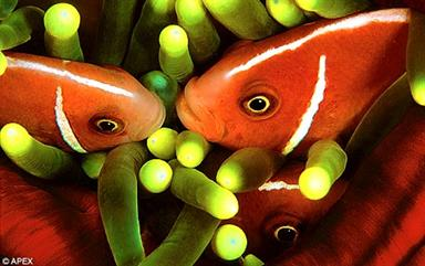 Pink anemone fish are protected from their host's stings by a layer of mucus