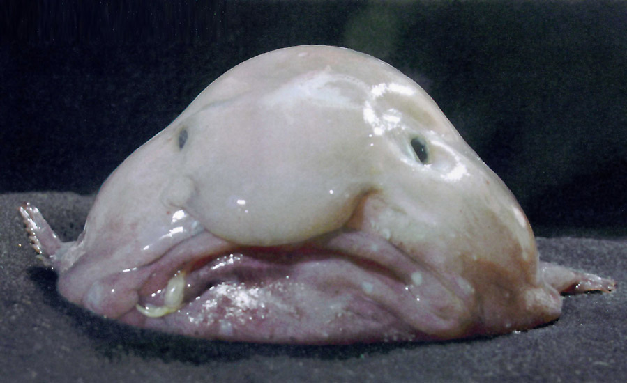 March 09, 2008 - Blobfish (Psychrolutes marcidus)