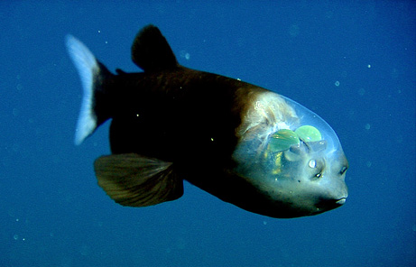 March 10, 2009 - A fish with a transparent head (Macropinna microstoma)