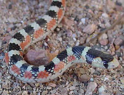 The desert hooknose snake