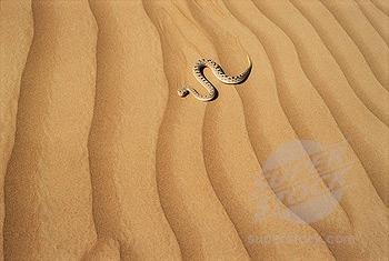 Desert horned viper2