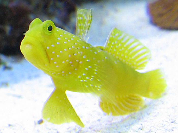 Dancing Goby