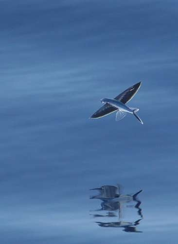 Flying Fish | Amazing Images www.supiri.com